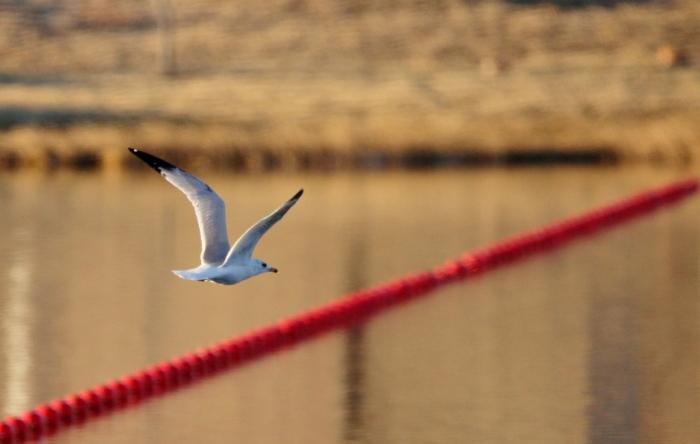 ring-billed-gull-13-1024x650