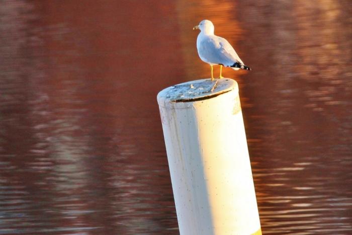 ring-billed-gull-7-1024x684