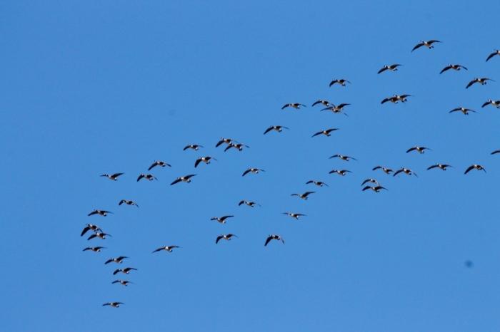 canada-goose-1024x683