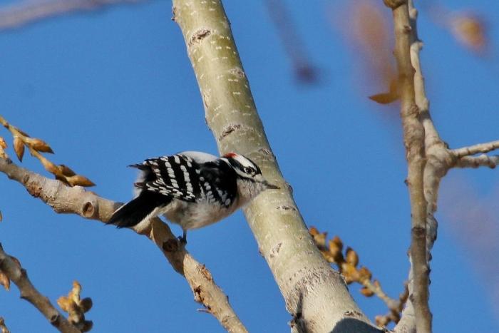 downy-woodpecker-10-1024x684