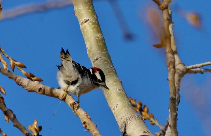 downy-woodpecker-11-1024x662