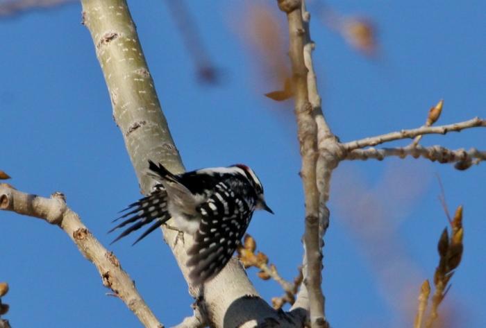 downy-woodpecker-12-1024x693