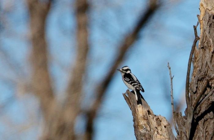 downy-woodpecker-14-1024x672