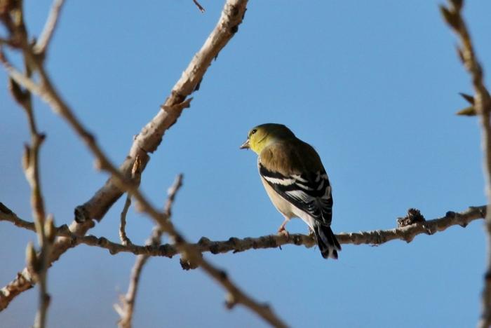 downy-woodpecker-17-1024x686