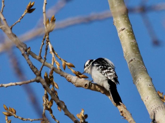 downy-woodpecker-4-1024x761