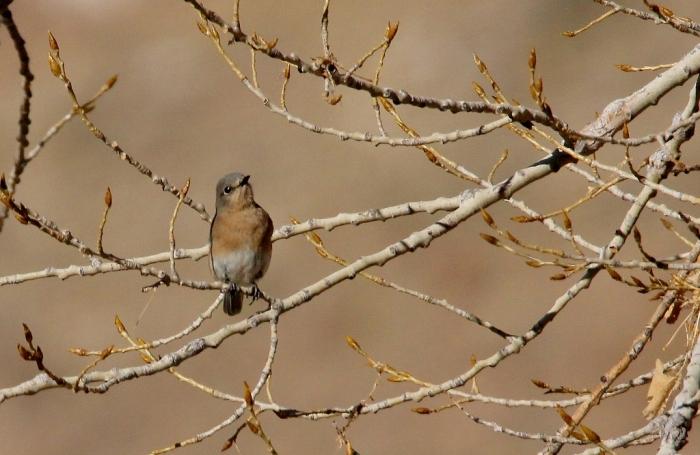 eastern-bluebird-12-1024x667