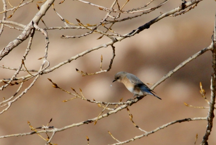 eastern-bluebird-5-1024x689