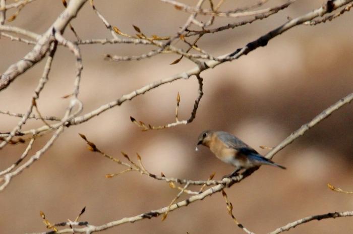 eastern-bluebird-6-1024x679
