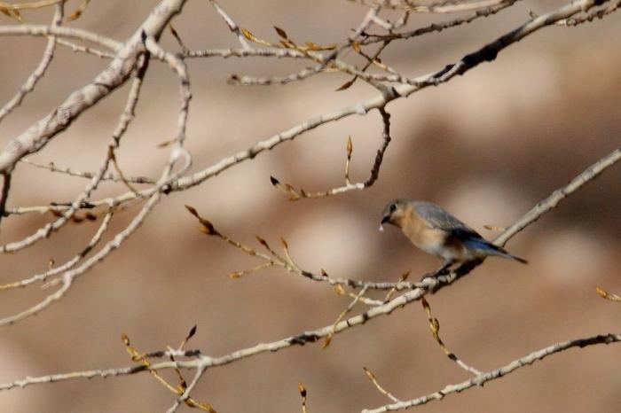 eastern-bluebird-7-1024x682