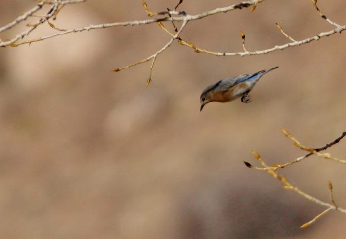 eastern-bluebird-8-1024x710