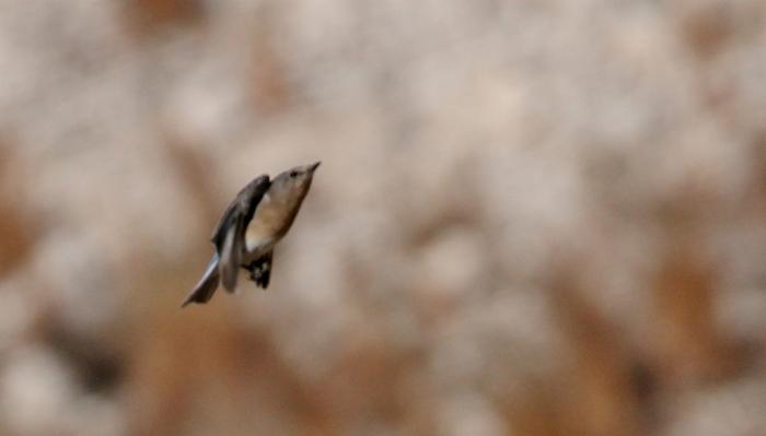 eastern-bluebird-9-1024x585