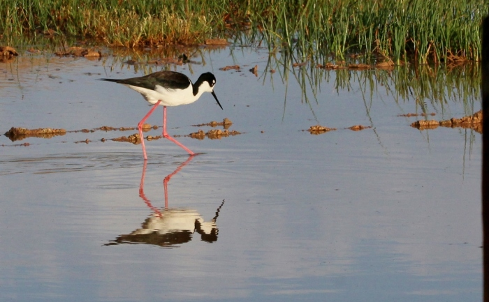 Black-necked Stilt (19) (1024x634)