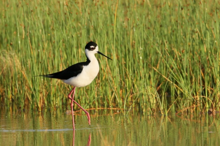 Black-necked Stilt (32) (1024x684)