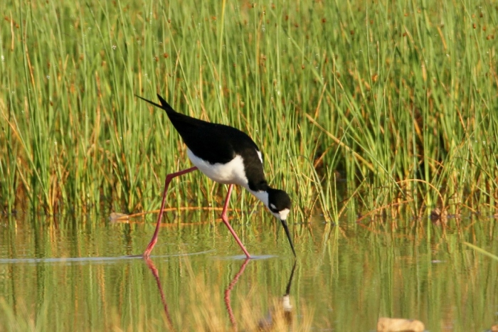 Black-necked Stilt (33) (1024x684)