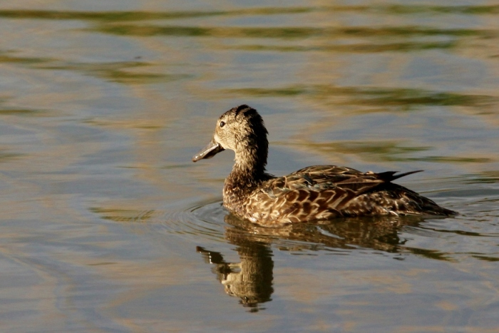 Blue-winged Teal female (1024x684)