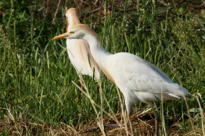 Cattle Egret (41) (1024x684)