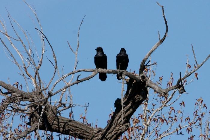 Chihuahuan Raven (1024x684)