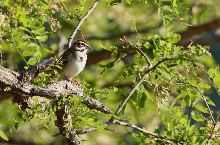 Lark Sparrow (23) (1024x678)