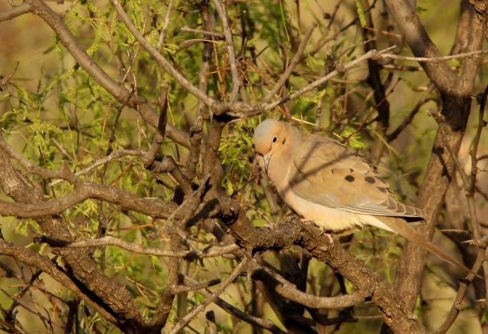 Morning Dove (2) (1024x701)
