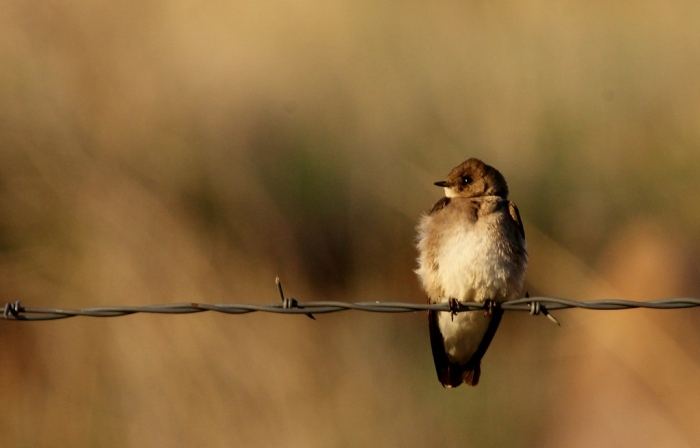 Northern Rough-winged Swallow (2) (1024x656)