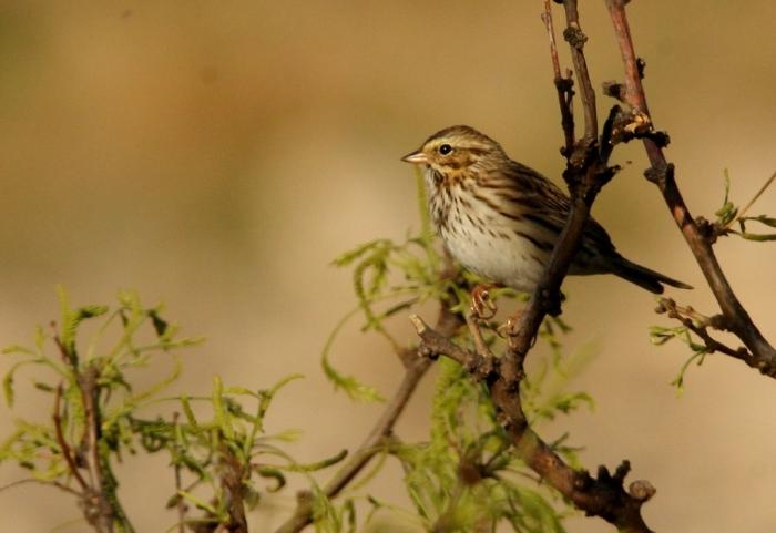 Savannah Sparrow (14) (1024x704)
