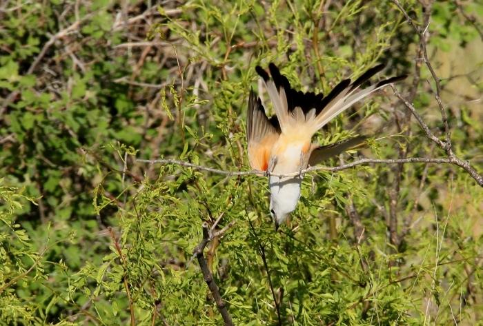 Scissor-tailed Flycatcher (14) (1024x693)
