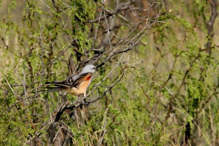 Scissor-tailed Flycatcher (15) (1024x684)