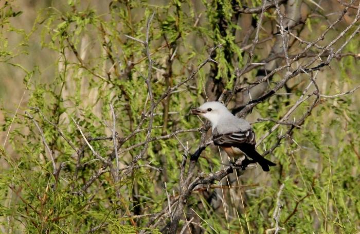 Scissor-tailed Flycatcher (17) (1024x667)