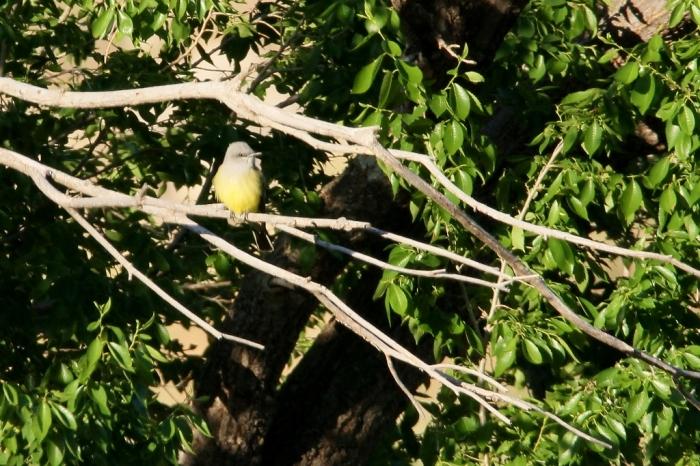 Western Kingbird (19) (1024x683)