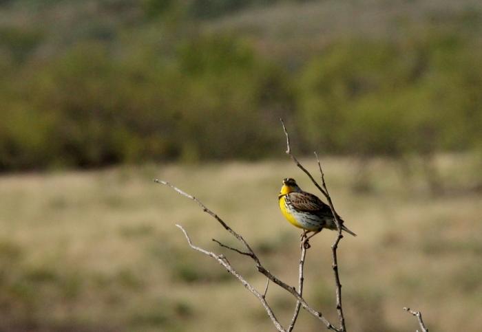 Western Meadowlark (12) (1024x707)