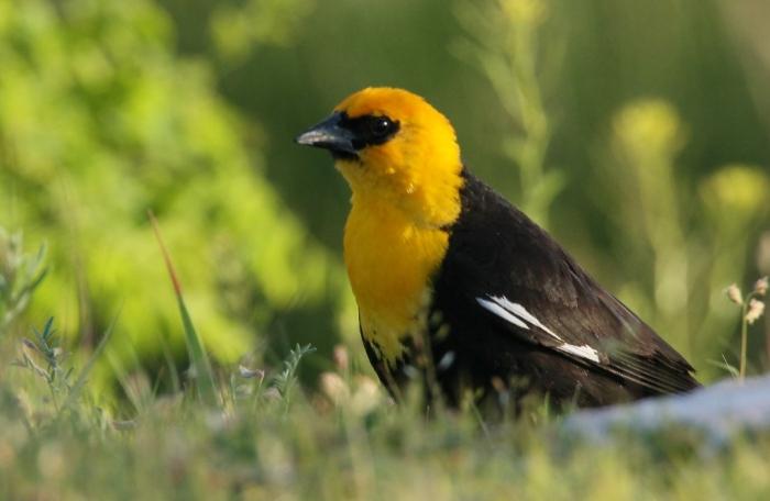 Yellow-headed Blackbird (12) (1024x668)