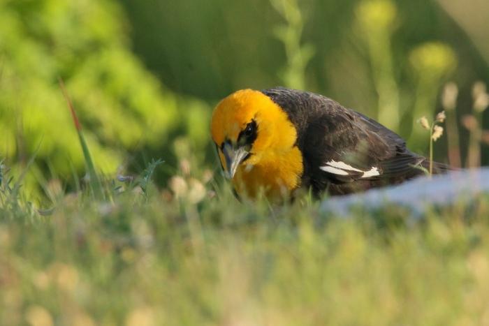 Yellow-headed Blackbird (13) (1024x684)