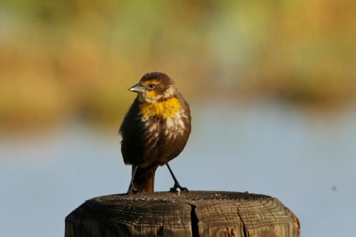 Yellow-headed Blackbird (16) (1024x683)