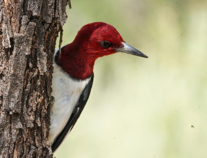 Red-headed Wodpecker (17)