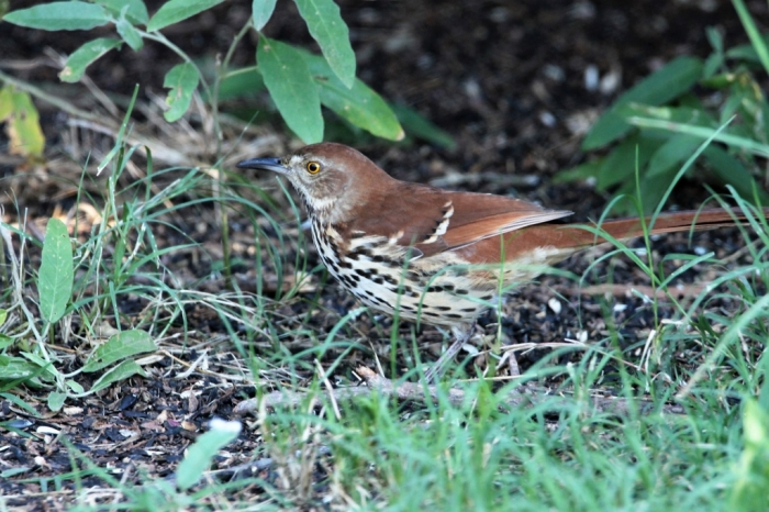 Brown Thrasher (2)1024x683] 01