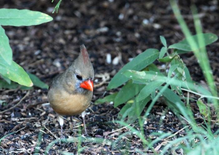 Northern Cardinal (3)