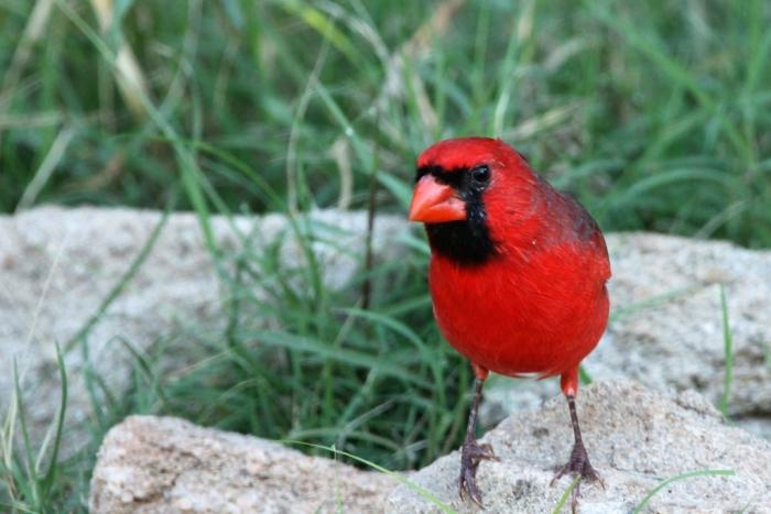 Northern Cardinal (4)