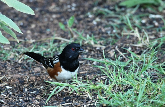 Spotted Towhee (1)1024x666] 05