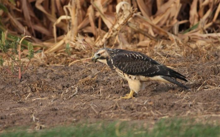 Swainson's Hawk juvenile (3)1024x638] 20