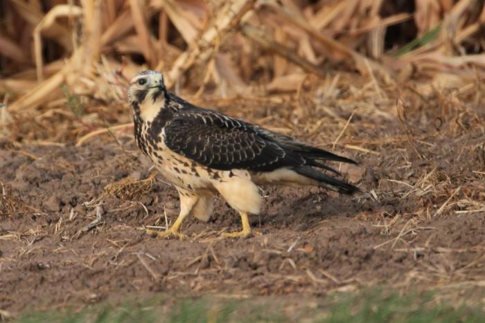 Swainson's Hawk juvenile (4)1024x684] 21