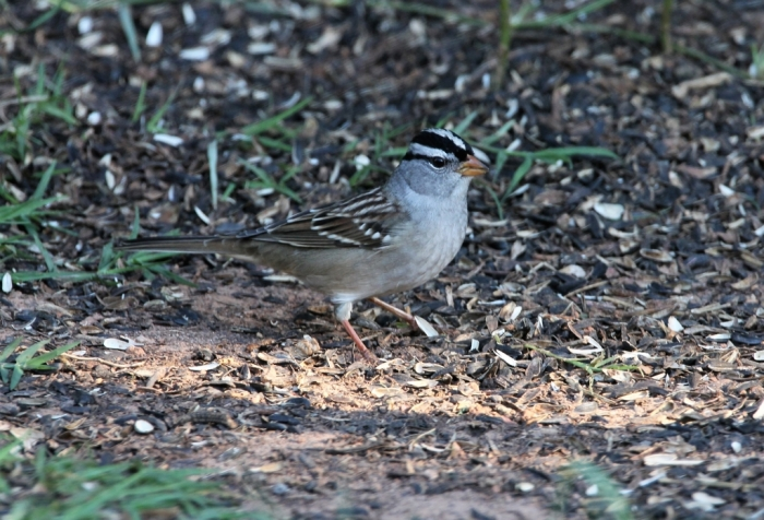 White-crowned Sparrow (3)