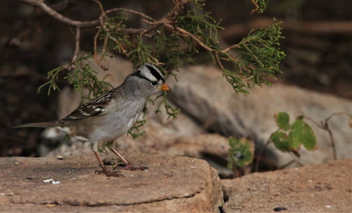White-crowned Sparrow1024x619] 06