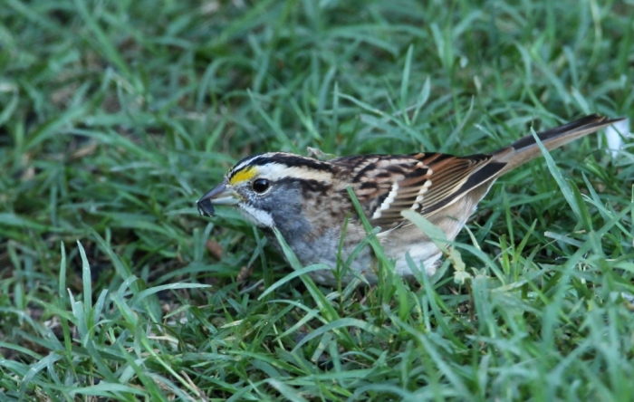 White-throated Sparrow (1)1024x650] 10