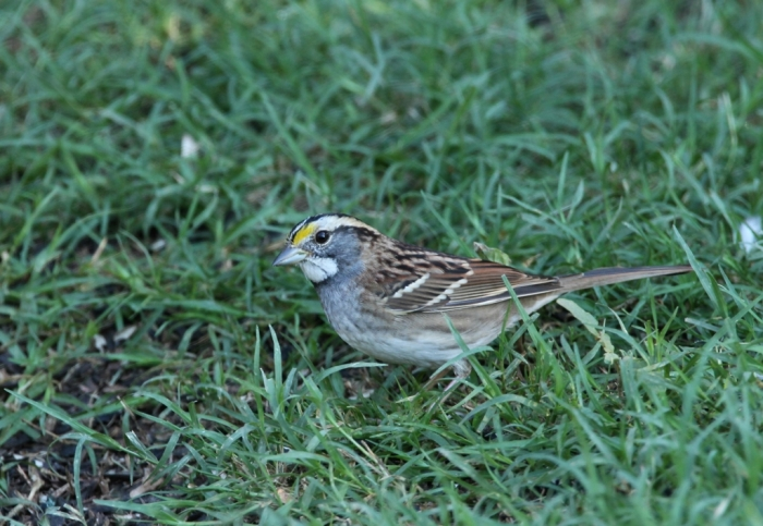 White-throated Sparrow (3)1024x707] 12