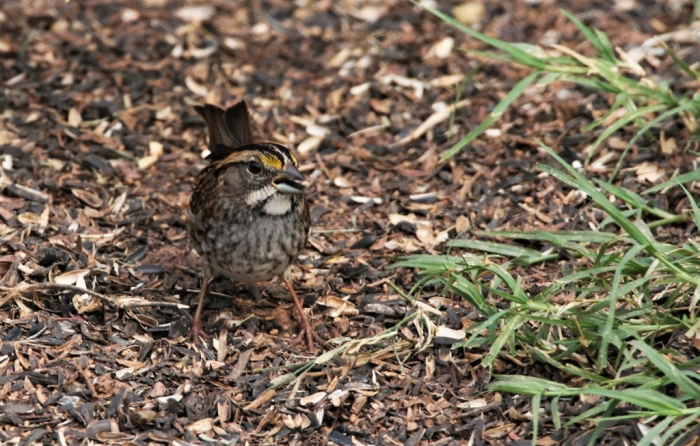 White-Throated Sparrow (4)1024x653] 07
