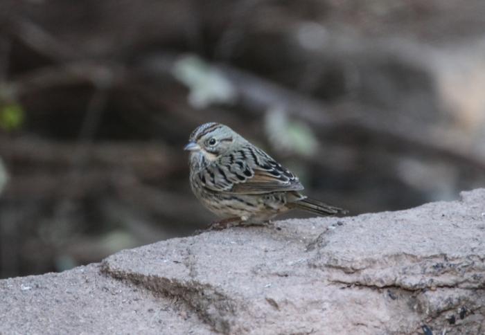 Lincoln's Sparrow (1)1024x709] 04