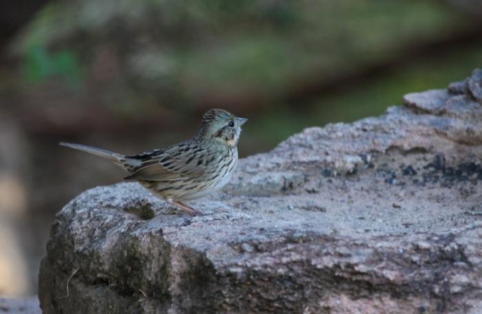 Lincoln's Sparrow (3)1024x669] 06