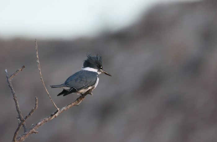 Belted Kingfisher (3)1280x839] 03