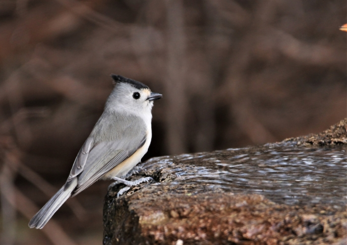 Black-crested Titmouse1280x908] 01