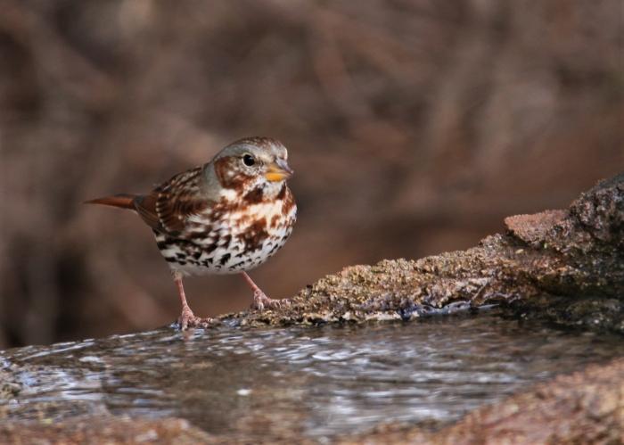 Fox Sparrow (2)1280x913] 03